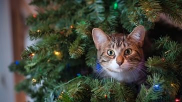 cat stuck in the christmas tree