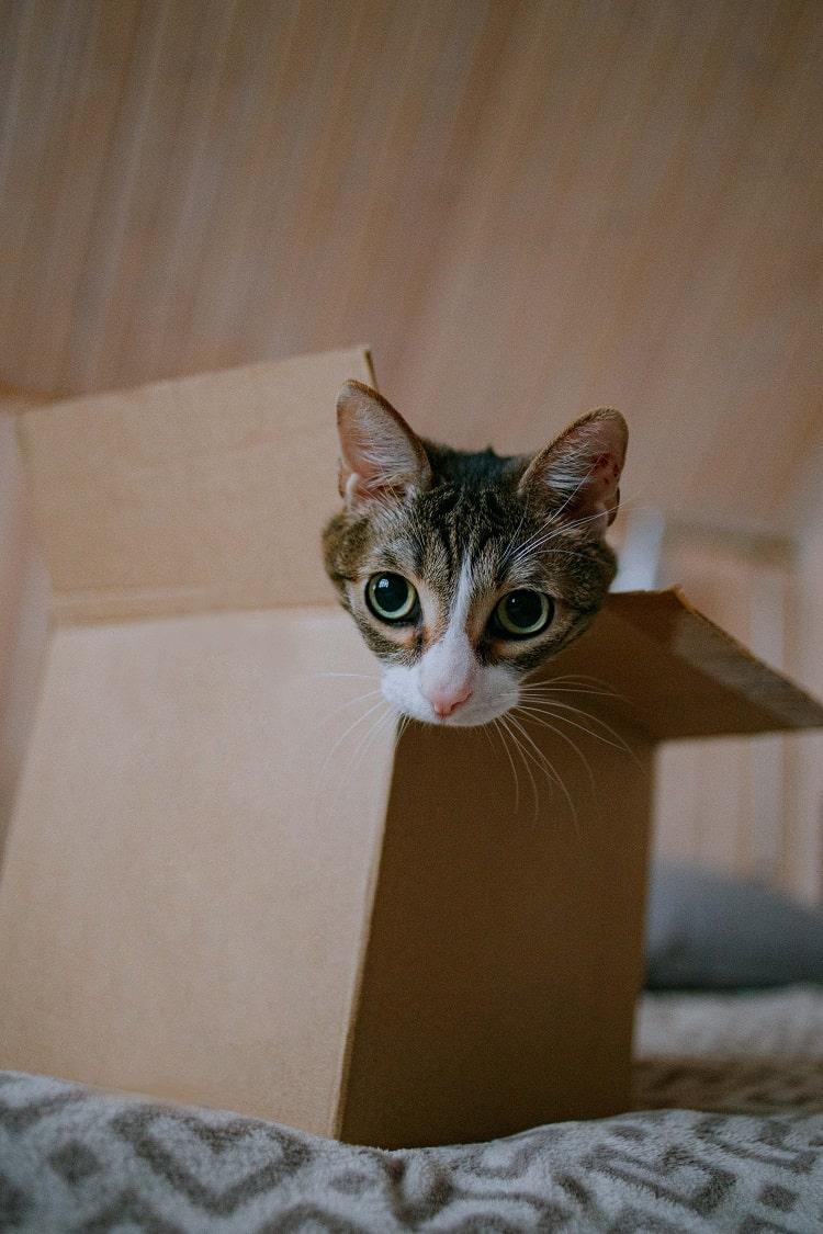 cat having fun with an empty cardboard box
